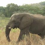 Elephant - Bitziboos